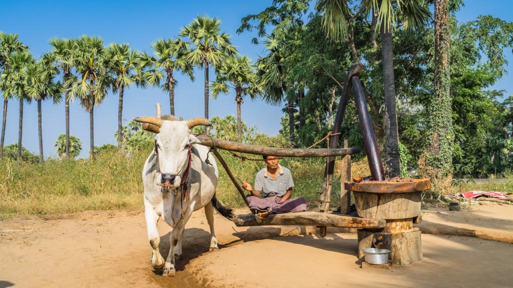Bagan, Cow, Myanmar, Sehenswürdigkeiten in Bagan